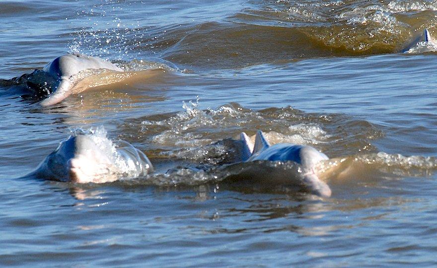 Bolivien Amazonas Reina de Enin Ibare Mamore Delfin