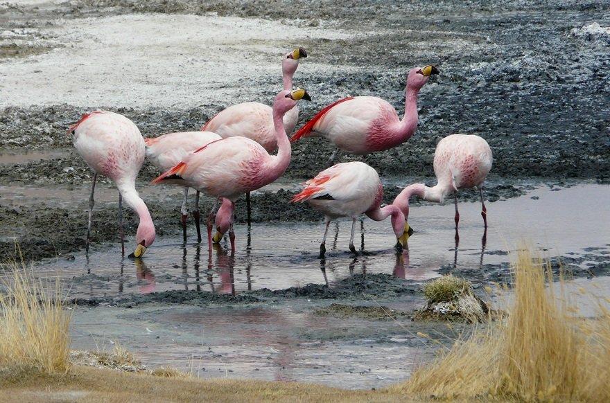 Bolivien Altiplano Flamingos
