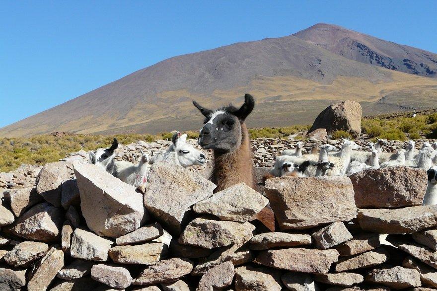 Bolivien Altiplano San Pedro de Quemez Lama