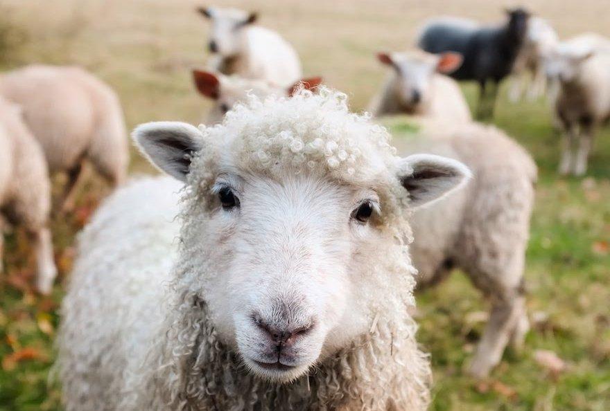 Schafe Estancia Feuerland Patagonien Argentinien