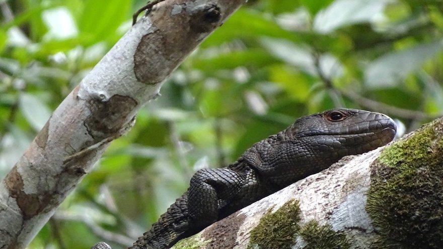 Ecuador Amazonas Echse