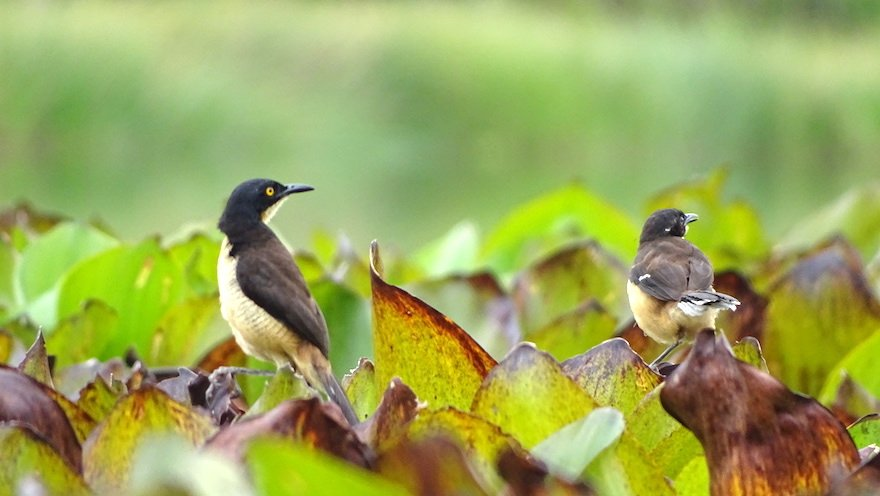 Ecuador Amazonas Vögel