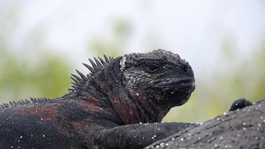 Ecuador Galapagos Meerechse