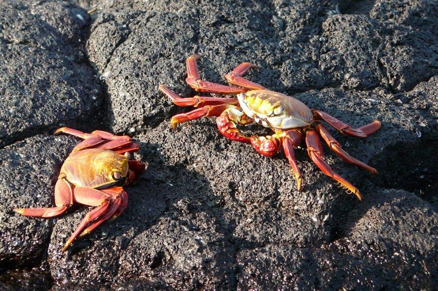 Ecuador Galapagos Rote Klippenkrabbe
