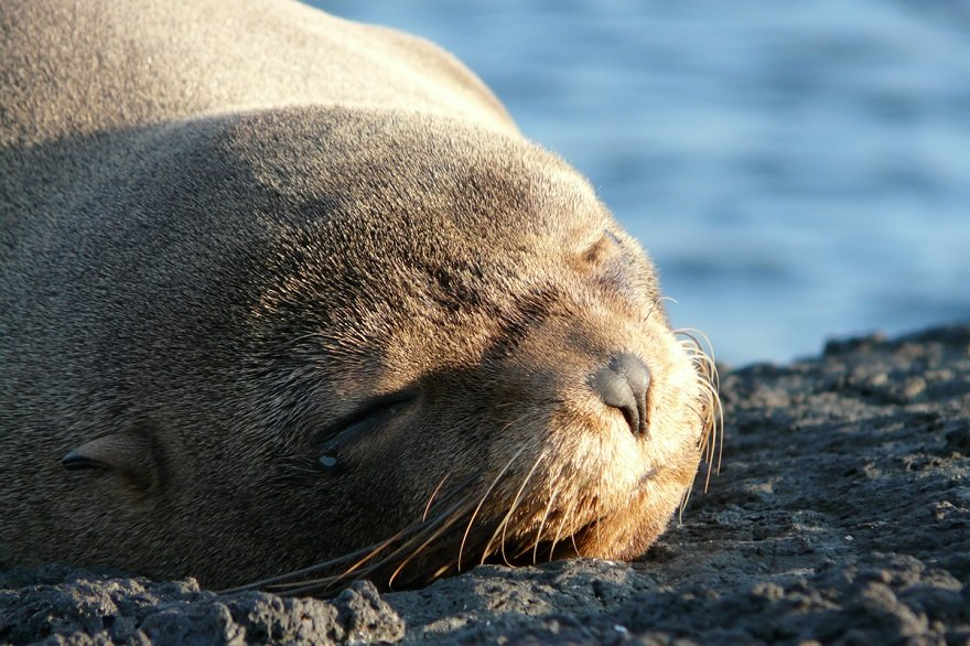 Ecuador Galapagos Seebär