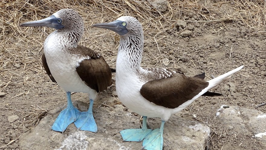 Ecuador Ruta del Sol Pazifikküste Isla de la Plata Blaufußtölpel