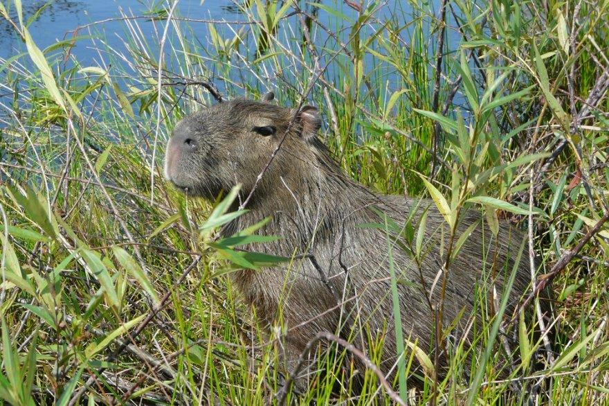 Wasserschwein Capybara Iberá Argentinien
