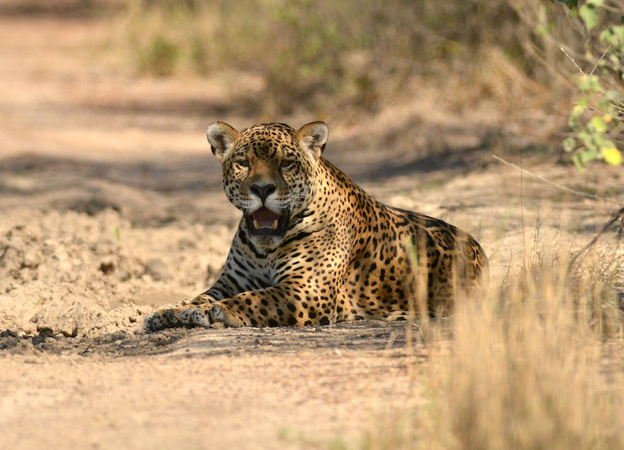 Bolivien Nationalpark Kaa-Iya del Gran Chaco Jaguar