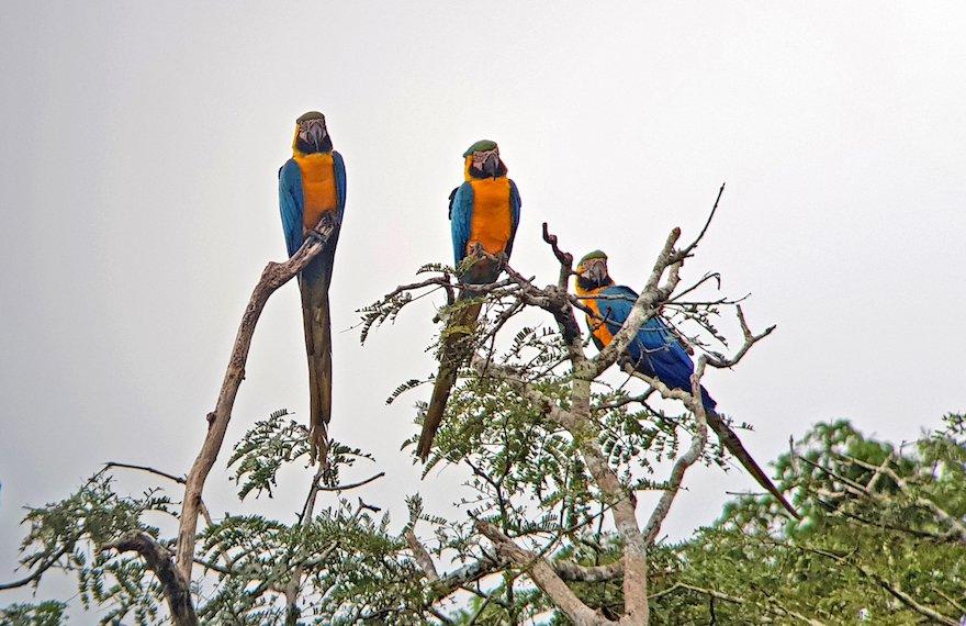 Peru Amazonas Puerto Maldonado Aras
