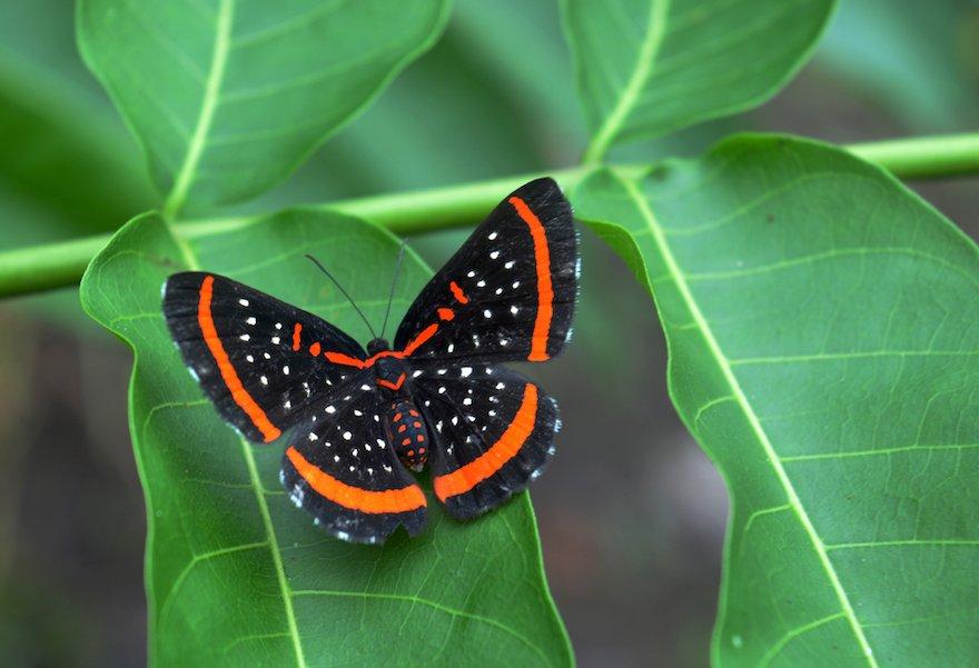 Peru Amazonas Puerto Maldonado Schmetterling