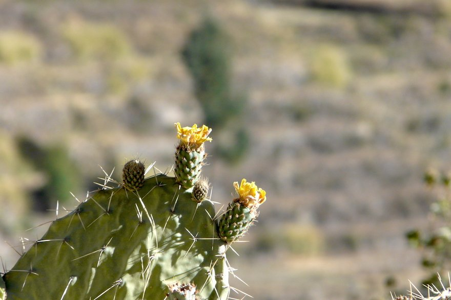 Kaktus Colca Canyon Peru