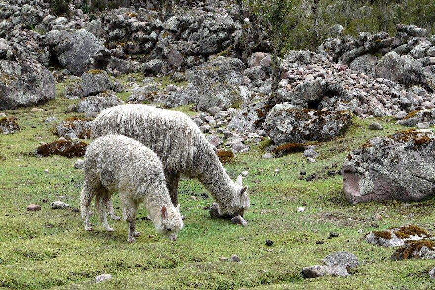 Lares Trek Anden Peru Alpacas