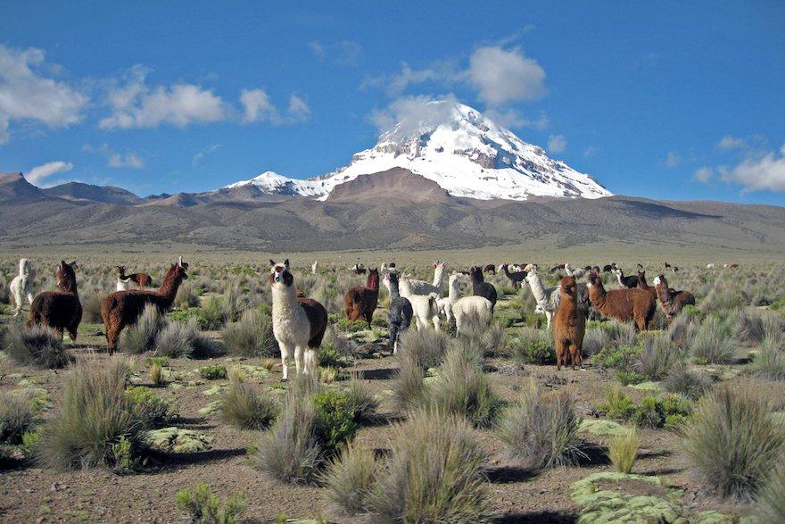 Bolivien Sajama Nationalpark Altiplano Alpakas