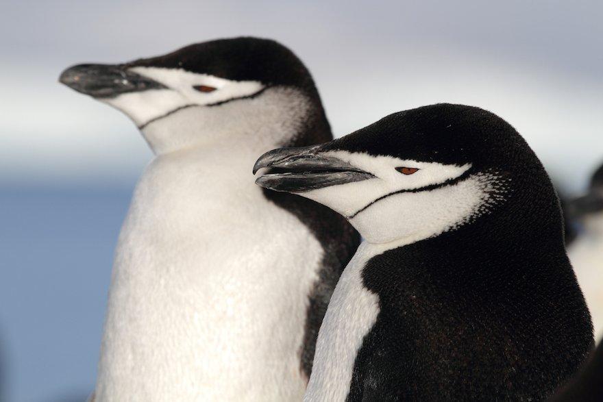 Antarktis Chile Zügelpinguine